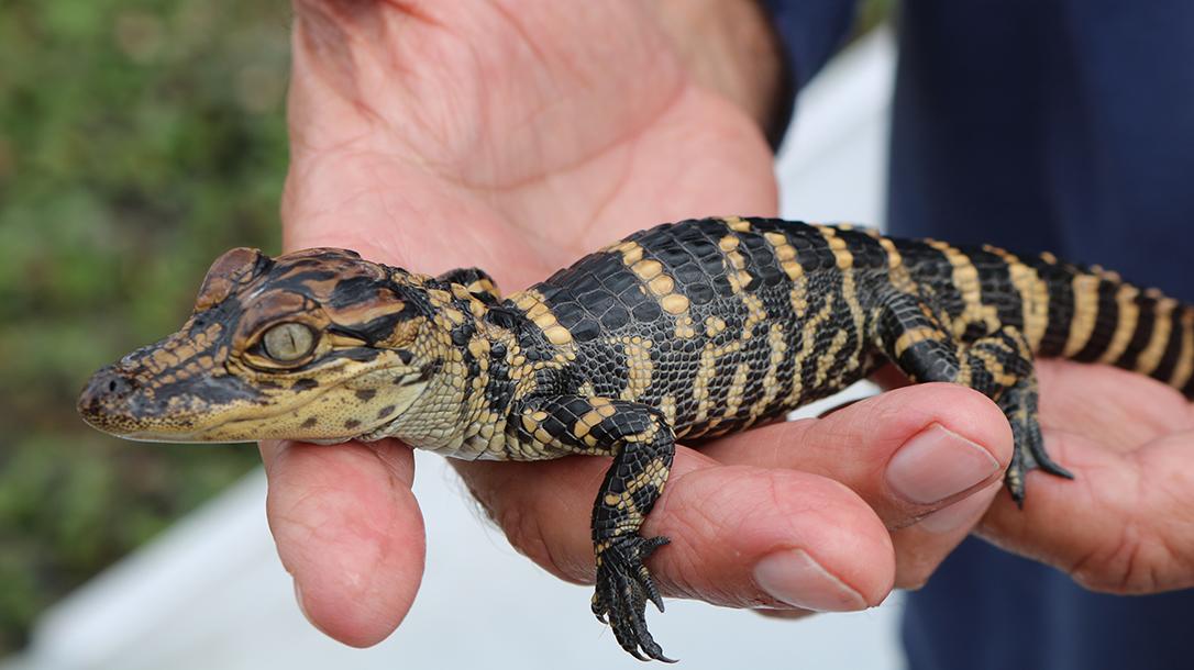 New Orleans Road Trip, Gators and Guns, baby gator