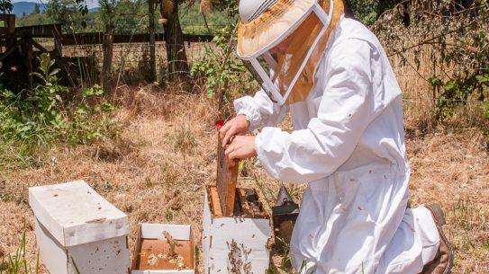 Beekeeping inspecting frames