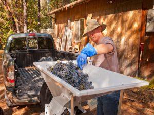 Winemaking crushed fruit
