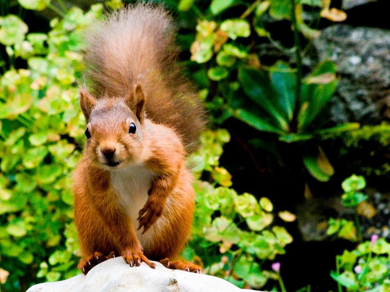 Red Squirrel For Two rock lead