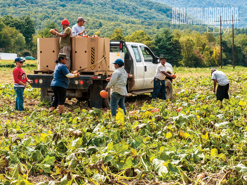 pumkin Harvesting New Sprout Farm