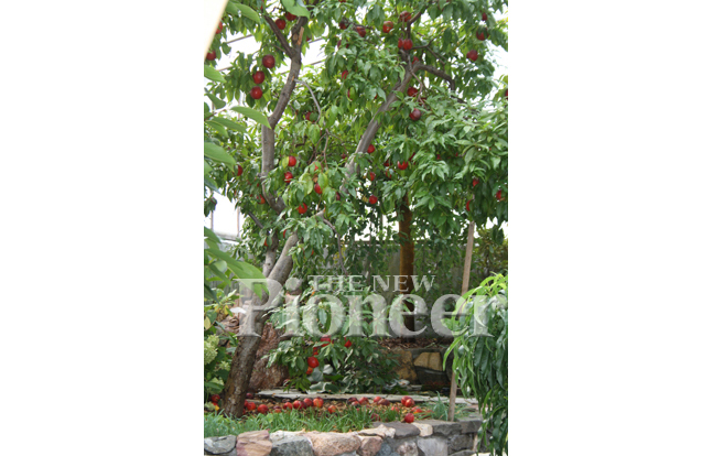 Greenhouse nectarines