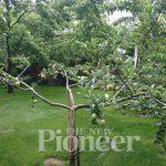 Grafting A Backyard Orchard