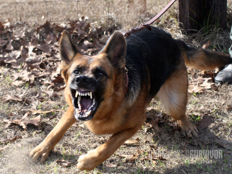12 Dog Breeds For Personal Home Protection