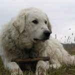 Kuvasz dogs, dog, defense, personal defense, personal & home defense, home defense, guard dog, k9 dog, home defense dog
