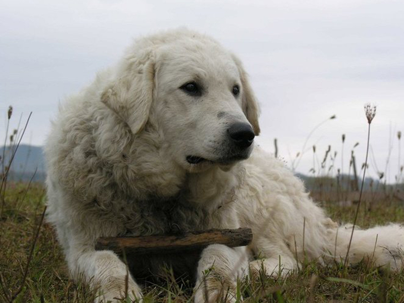 Kuvasz dogs, dog, defense, personal defense, personal & home defense, home defense, guard dog, k9 dog, home defense dog