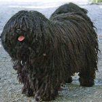 Puli dogs, dog, defense, personal defense, personal & home defense, home defense, guard dog, k9 dog, home defense dog