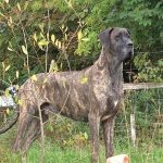 Great Dane, dogs, dog, defense, personal defense, personal & home defense, home defense, guard dog, k9 dog, home defense dog