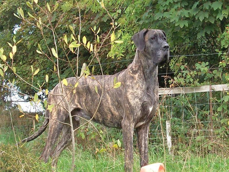 Great Dane, dogs, dog, defense, personal defense, personal & home defense, home defense, guard dog, k9 dog, home defense dog