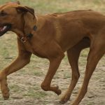 Rhodesian Ridgeback dogs, dog, defense, personal defense, personal & home defense, home defense, guard dog, k9 dog, home defense dog