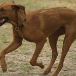 Rhodesian Ridgeback dogs, dog, defense, personal defense, personal & home defense, home defense, guard dog, k9 dog, home defense dog
