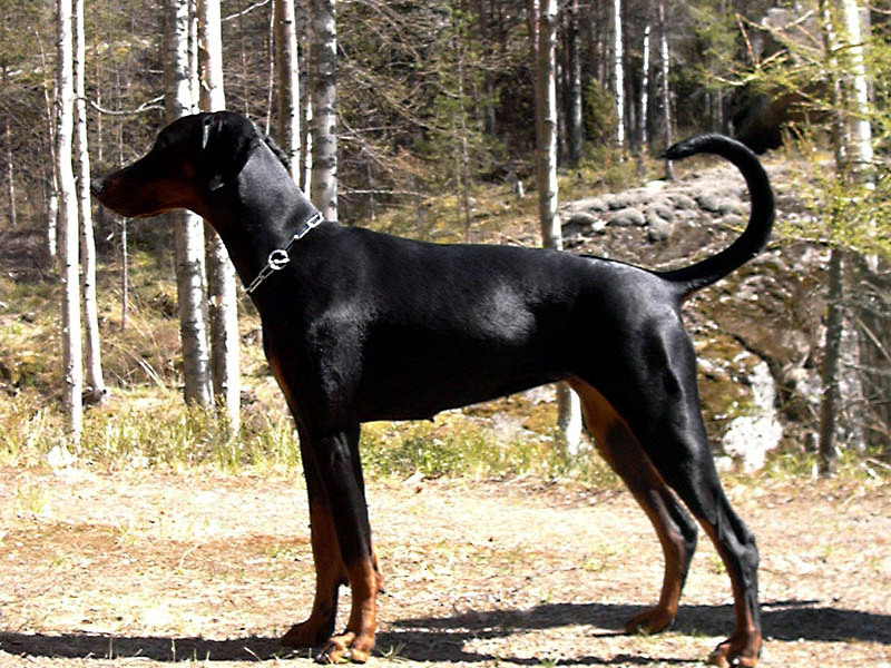 Doberman Pinscher dogs, dog, defense, personal defense, personal & home defense, home defense, guard dog, k9 dog, home defense dog