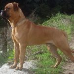 Bullmastiff dogs, dog, defense, personal defense, personal & home defense, home defense, guard dog, k9 dog, home defense dog
