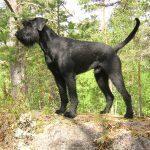 Giant Schnauzer dogs, dog, defense, personal defense, personal & home defense, home defense, guard dog, k9 dog, home defense dog