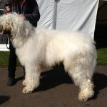 Komondor dogs, dog, defense, personal defense, personal & home defense, home defense, guard dog, k9 dog, home defense dog