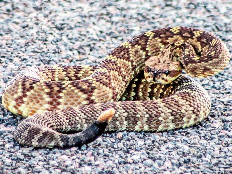 snake, snake attack, rattlesnake, snake defense