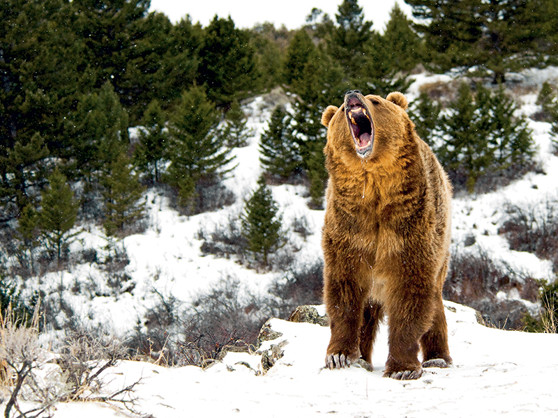 bear hibernation Bear Attack Survival lead