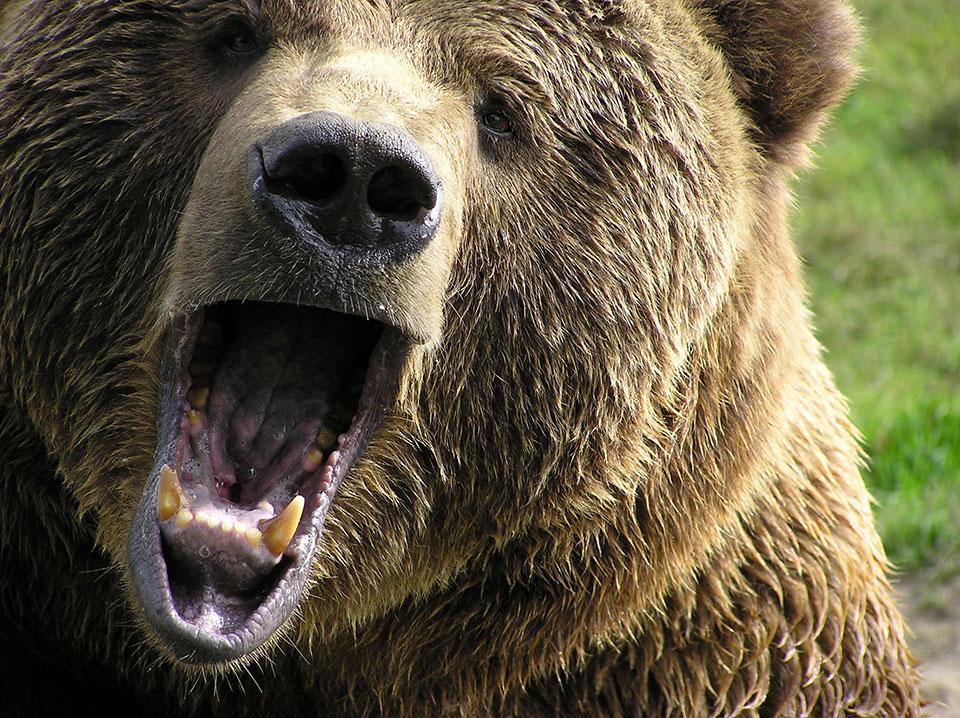 bigstock-Angry-Bear-23506130