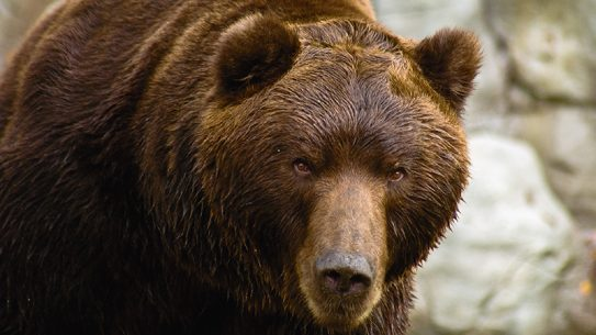 Brown bear russia attack