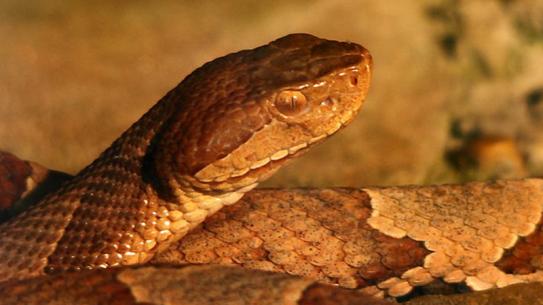 Copperhead Snake Virginia