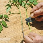 Side grafting tomatoes