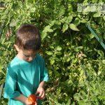 tomato grafting