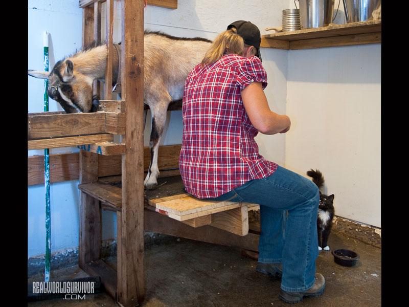 dairy goat milking