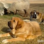 Spanish Mastif Livestock Guardian Dog