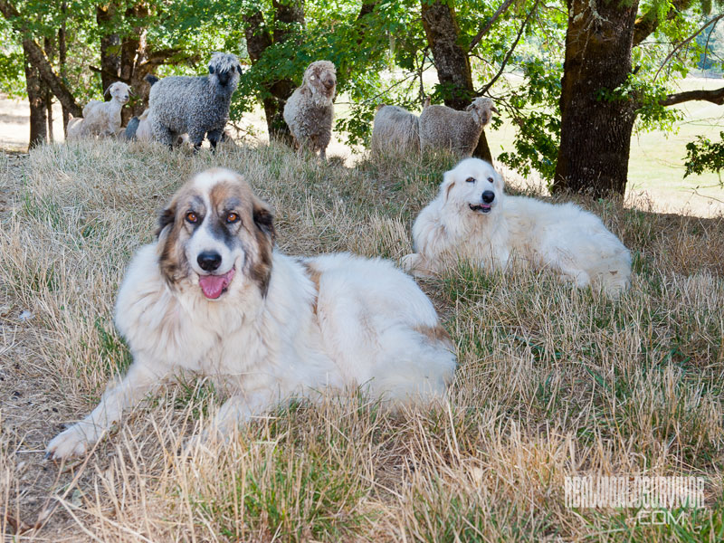 Livestock Guardian Dog breeds