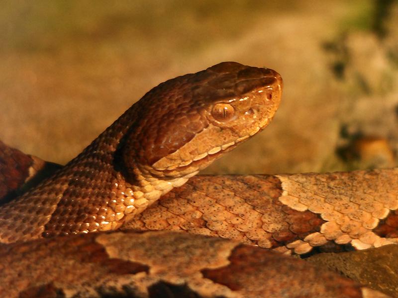 Dog Snake Bite Copperhead
