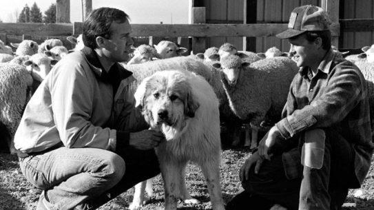 Livestock Guardian Dog
