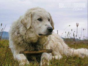 Kuvasz farm dog breeds