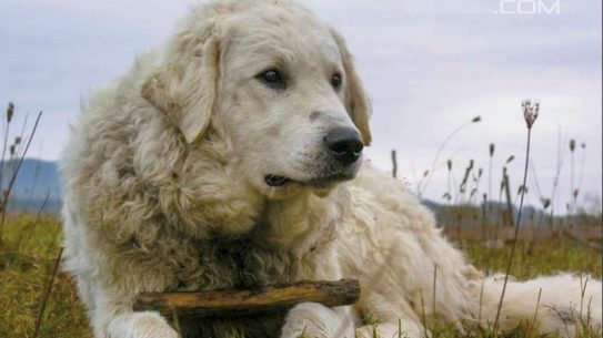 Kuvasz farm dog breeds