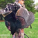 wild turkey, wild turkey recipes, hunt, hunting, hunting wild turkey