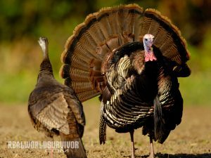 wild turkey, wild turkey recipes