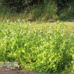 subsistence garden snow peas