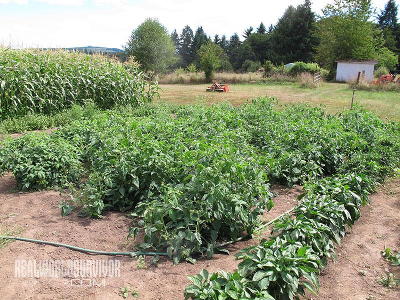 tomatoes subsistence garden