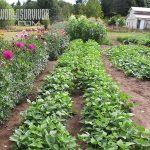 Subsistence garden soy beans