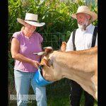 Milk Cow as Pets