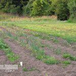 subsistence garden onions