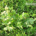 subsistence garden cilantro
