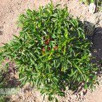 Subsistence Garden peppers