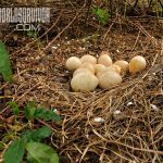wild turkey nest