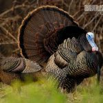 wild turkey conservation