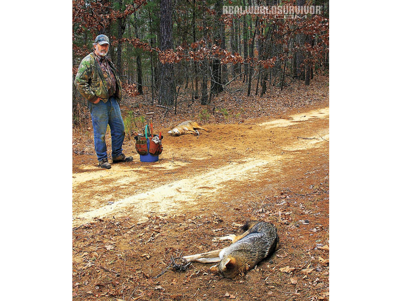The author's husband, Jim Spencer. Setting two traps in a high-traffic area often means having a double coyote catch.