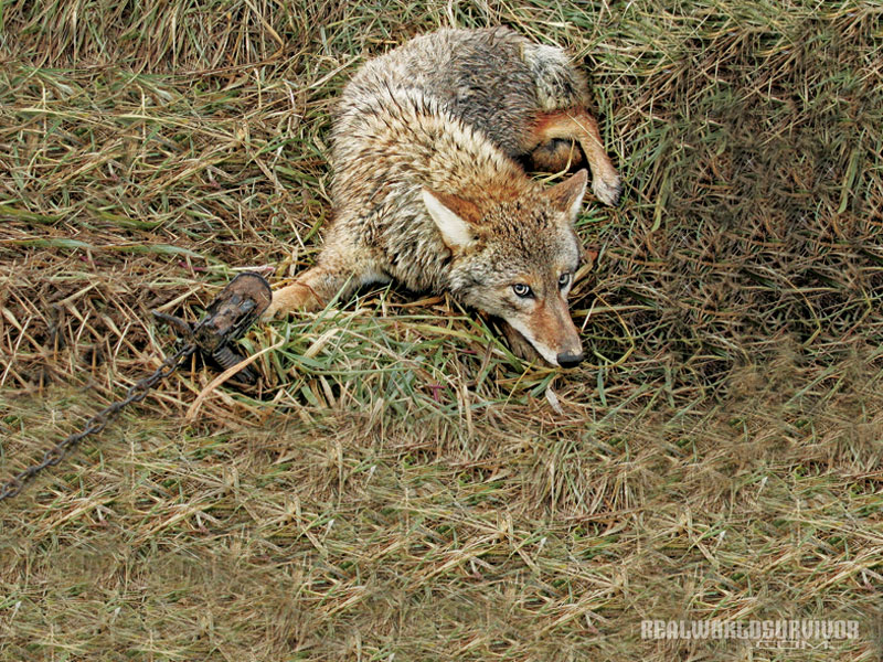 coyote, trap coyote, coyote trapping, animal trapping