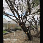 Pruning a Mesquite Tree