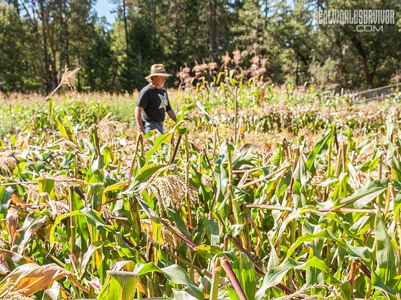 Subsistence Garden Corn