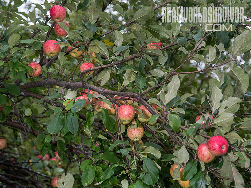 using fungi to grow apple trees