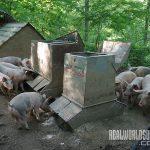 whiffletree farm free-range pigs